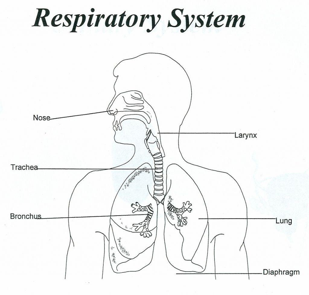Human Diagram For Kids Human Respiratory System Diagram