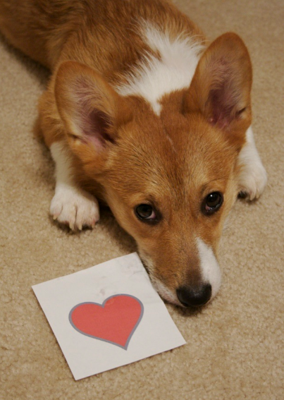 Happy Valentine's Day, with love, Corgi