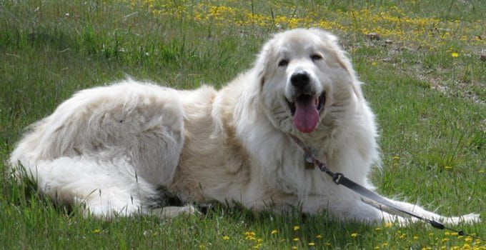 How To Reduce Great Pyrenees Shedding? in 2020   Great ...