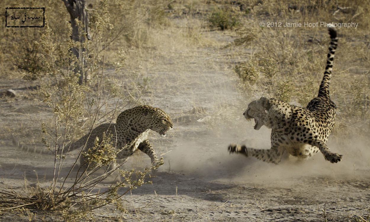 لقطة فريدة تم التقاطها في بوتسوانا لصراع بين ذكر الفهد الصياد على اليمين وأنثى حيوان الفهد أو بحسب التسمية العلمية الدق Animals Animal Wallpaper Wild Cats