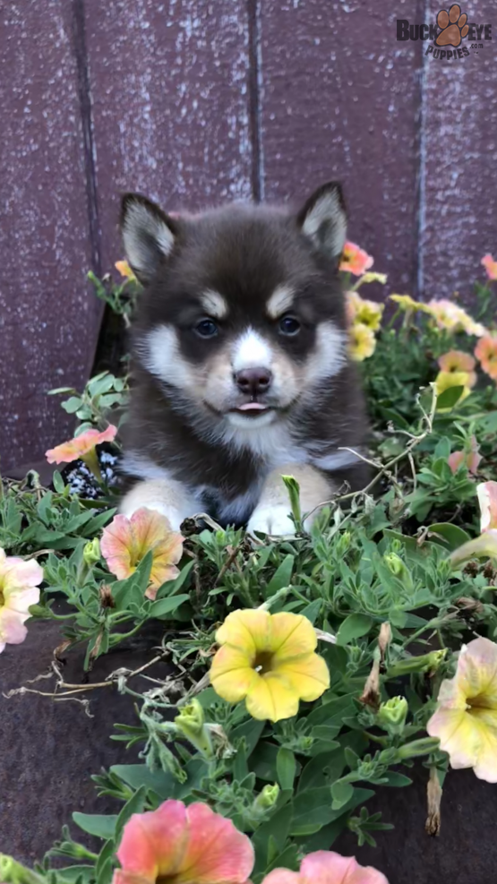 Bryce - Pomsky Puppy for Sale in Shipshewana, IN | Buckeye