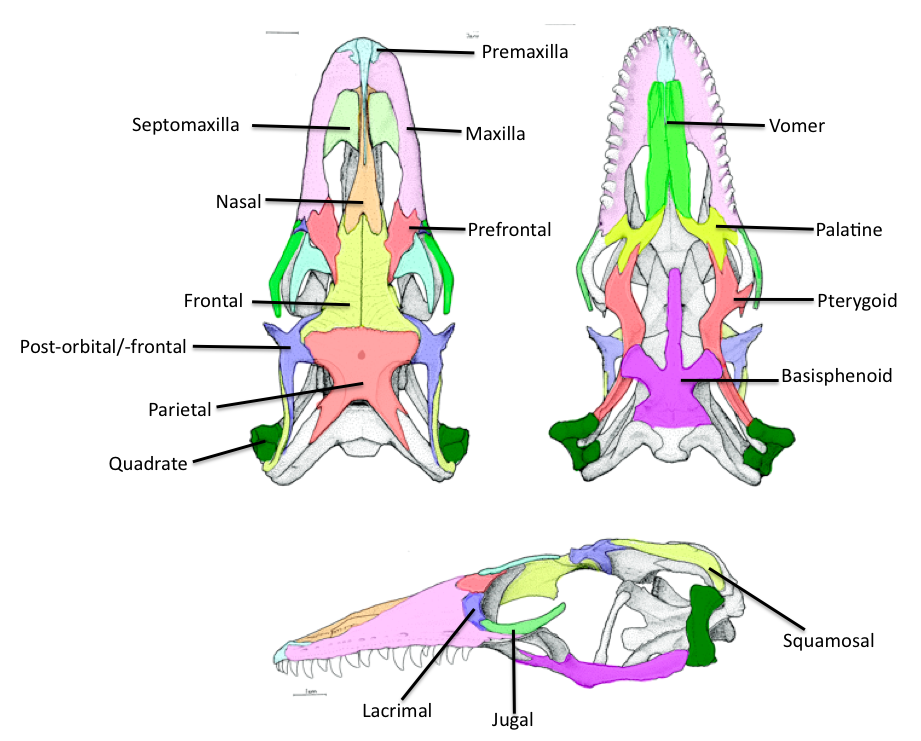 Crocodile anatomy skeleton cerca con google insects birds crocodile anatomy skeleton cerca con google ccuart Images