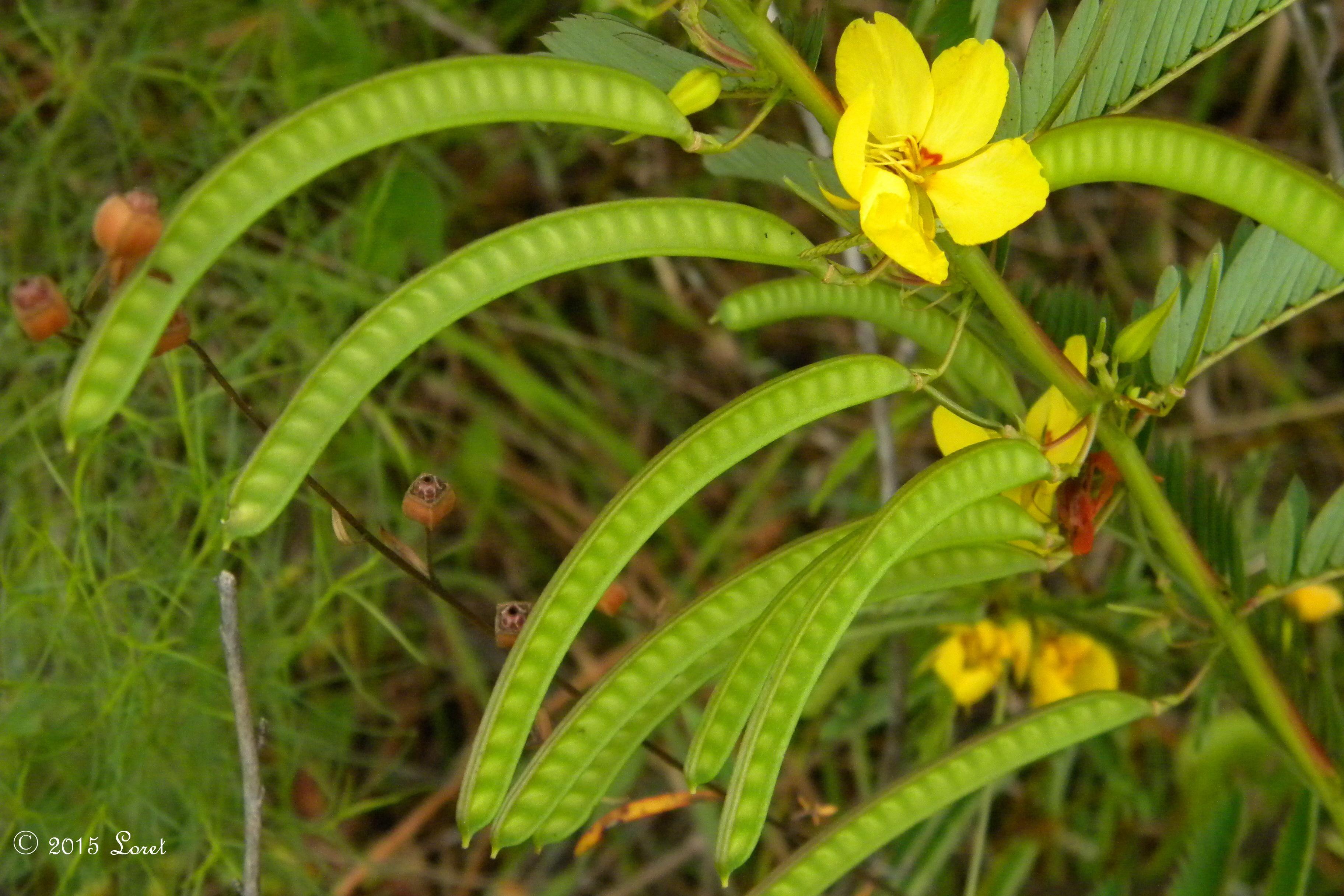 Friday Focus on Fruit: Florida Native Plant PARTRIDGE PEA (Chamaecrista fasciculata) More info, photos:0915