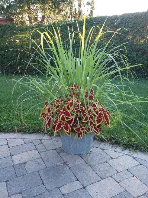 grass and coleus- Attractive way to repel mosquitoes.