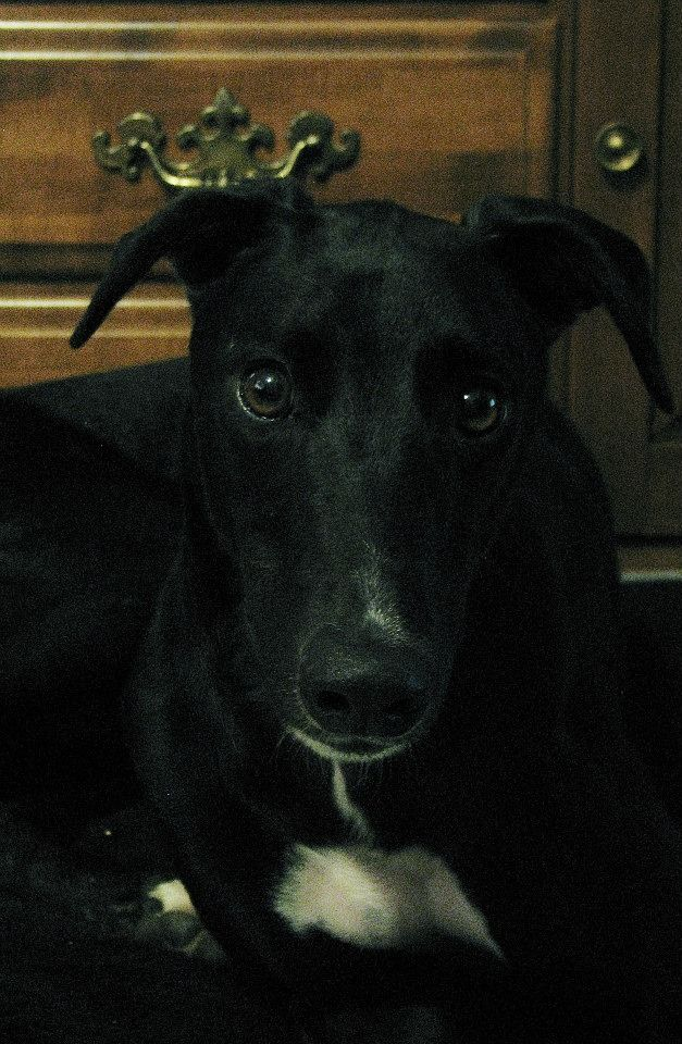 Flynn came to us as an 8mo old puppy with a broken toes.  He did not race. He needed time to recover and rehabilitate through use and exercise and is now ready to go to his forever home. He is a lively puppy that will be happy to join your family. ...