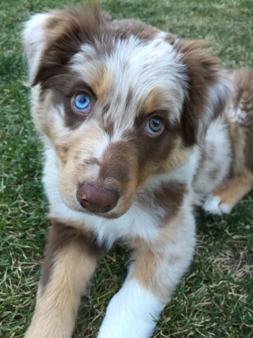 Australian Shepherd Smart Working Dog Aussie Puppies