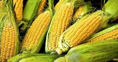 الوطنية لمنتجات الذرة 128 مليون جنيه صافى أرباح الشركة خلال 6 شهور Corn Finnish Words Finnish Language