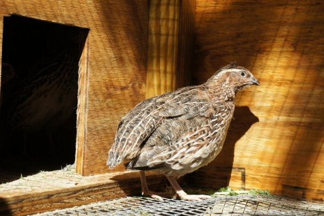 Fertile Jumbo Coturnix Quail Hatching Eggs 25