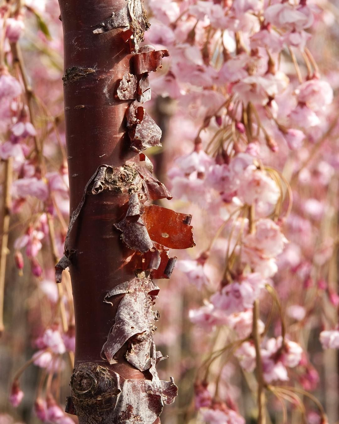With Shiny Peeling Coppery Bark And Clear Bright Pink Double Flowers The Cheal S Weeping Cherry Is A Spring Flowering Trees Flower Farm Early Spring Flowers