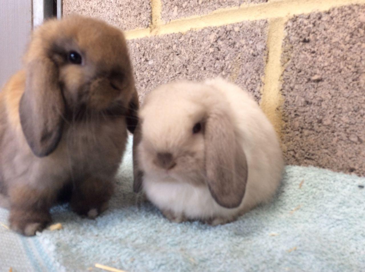 Mini Lop Rabbits Babies And Young Adults Iver Buckinghamshire Pets4homes Mini Lop Rabbit Mini Lop Rabbit