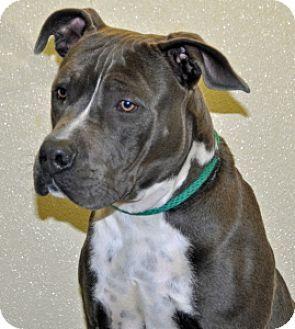 Pin By Jody Amsel On Pets In Need Pitbull Terrier Pets Pitbulls