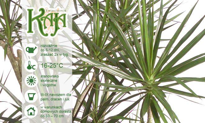Kaja Flower Care Rosliny Doniczkowe Dracena Plants
