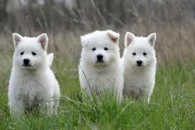 Pin Van Krista Karger Op Dogs Herdershond Honden Puppy