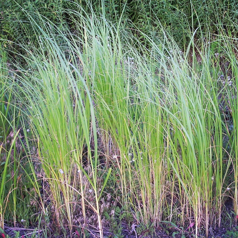 Prairie Cordgrass Spartina Pectinata One Tough Grass This Tall Attractive Grass Grows Well In Moist Prairie It Can Be Used For Making Cord Warm Season Grass
