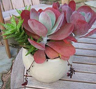 "Kalanchoe thyrsifolia ""Paddle Plant""    In the house maybe"