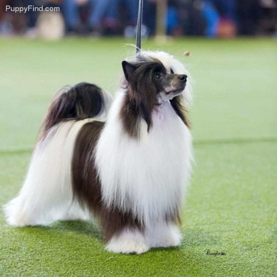 Tiny Little Hhl Chinese Crested Girl In Hoobly Classifieds