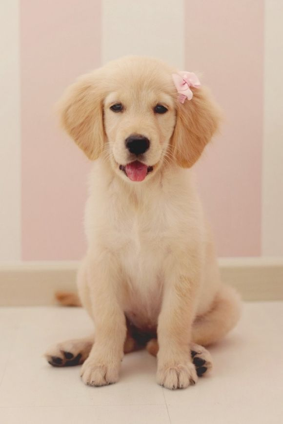 Pretty Little Girl Puppy With Fancy New Bow Cute Dogs Dog Love Baby Dogs