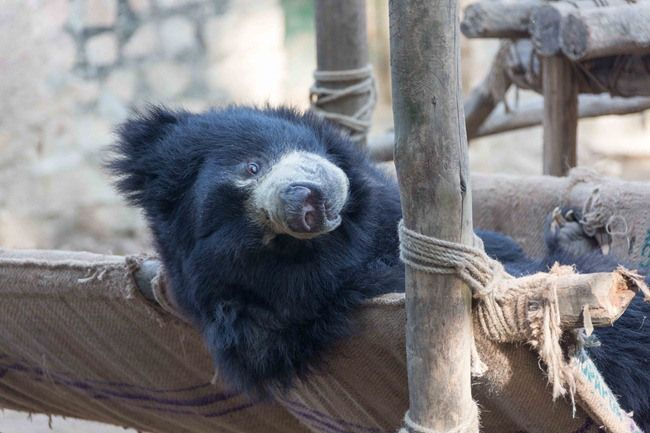 """Wildlife SOS started in 1995 with a movement to save the """"dancing bears"""" of India. Ripped from their mothers at an early age their noses are pierced, teeth are broken and they are trained to """"dance""""."""