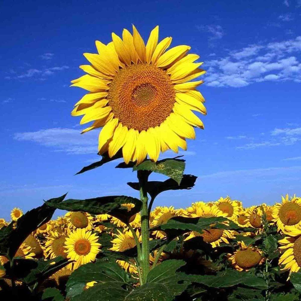 Striped Tall Sunflower 30 Seeds Helianthus Mammoth Edible Heirloom Usa Seller Cool Plants Sunflower Plants