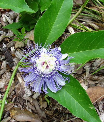 Passiflora Incarnata Maypop Wild Passion Vine Purple Passionflower Zones 7a To 10b Medium To Dry Well Drained Soil Full S Plants Trees To Plant Passiflora