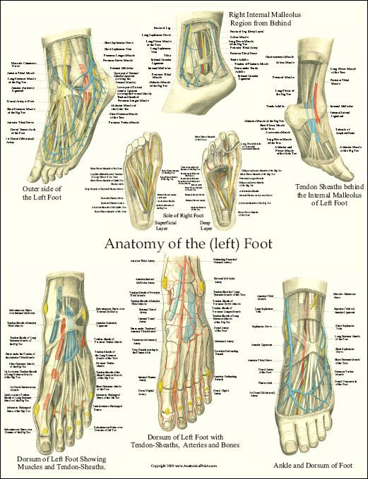 anatomy poster that can be found in the offices of many foot doctors ...