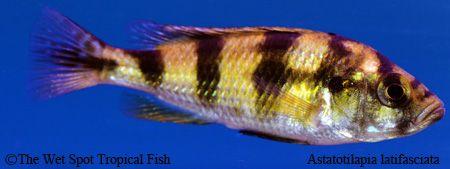 Astatotilapia Latifasciata Zebra Obliquidens Fish Pet Tropical Fish Freshwater Fish