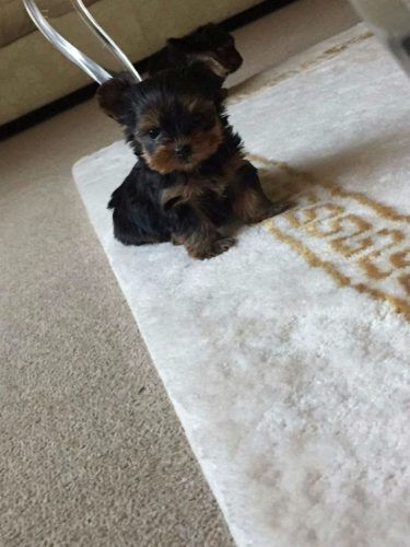 Tiny Yorkshire Terrier Puppies For Sale Yorkshire Terrier Puppies Puppies For Sale Pets For Sale