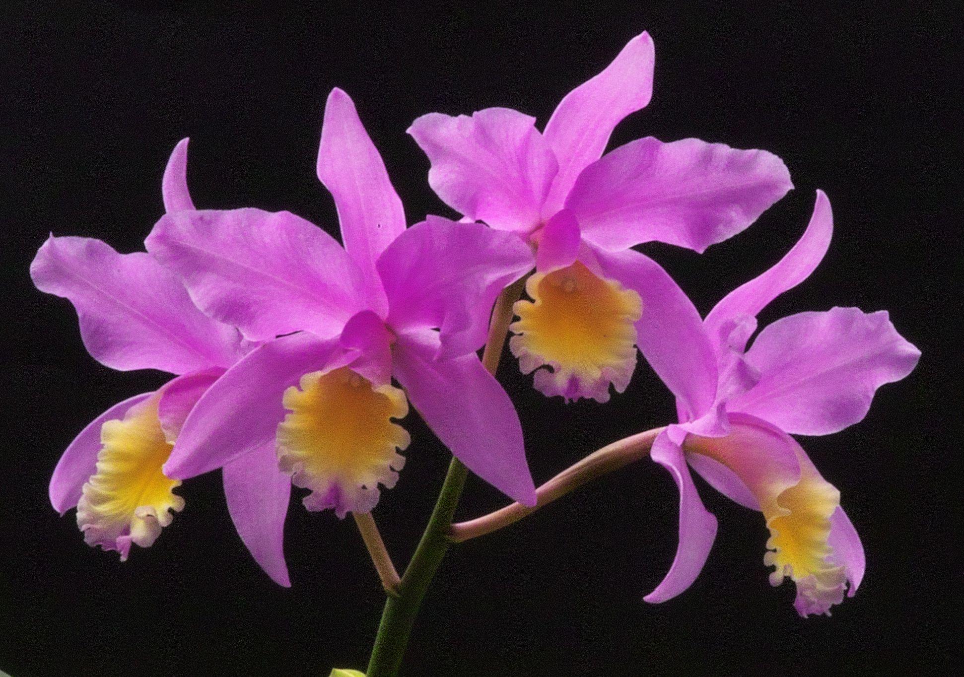 Cattleya Miyaki Orchid Flower Beautiful Orchids Orchids