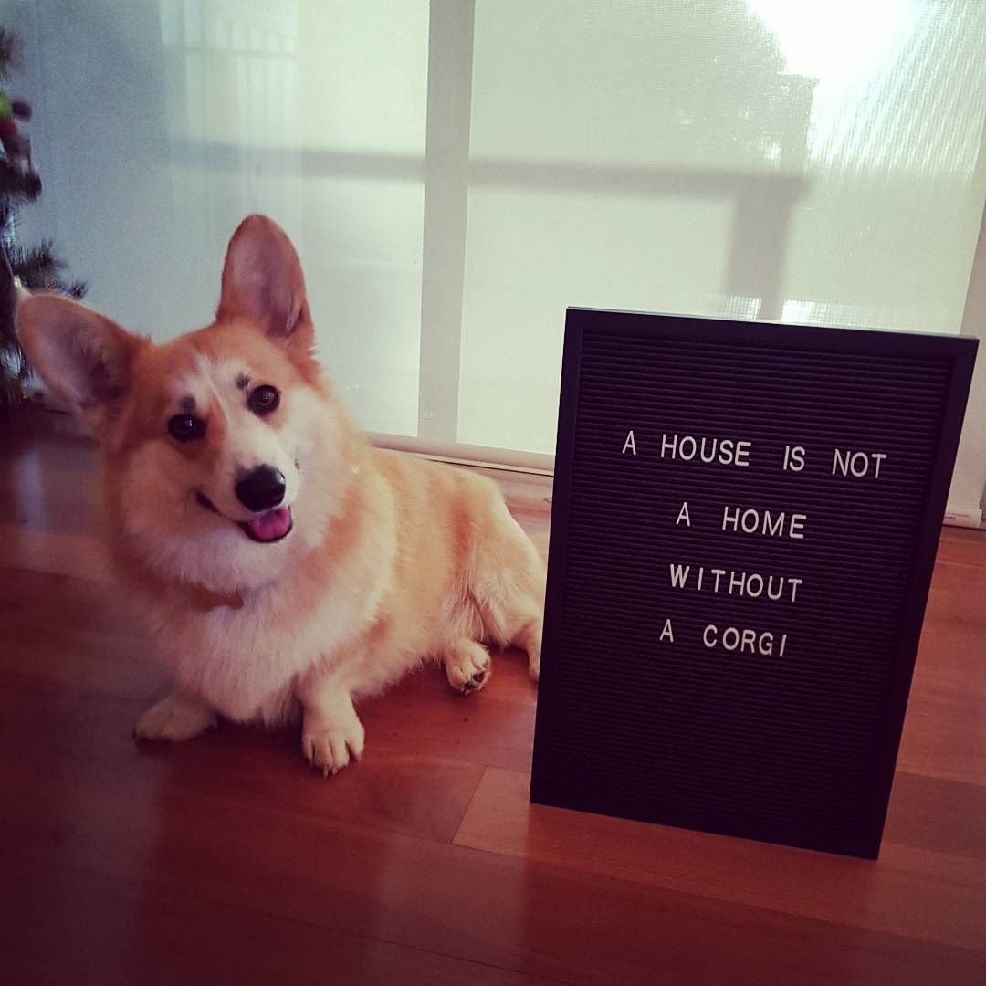 Casper The Friendly Corgi From Perth Australia With Images