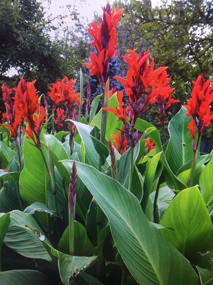 Details About Canna Bulbs Red Jumbo Plants Tall Plants Lot Of 5