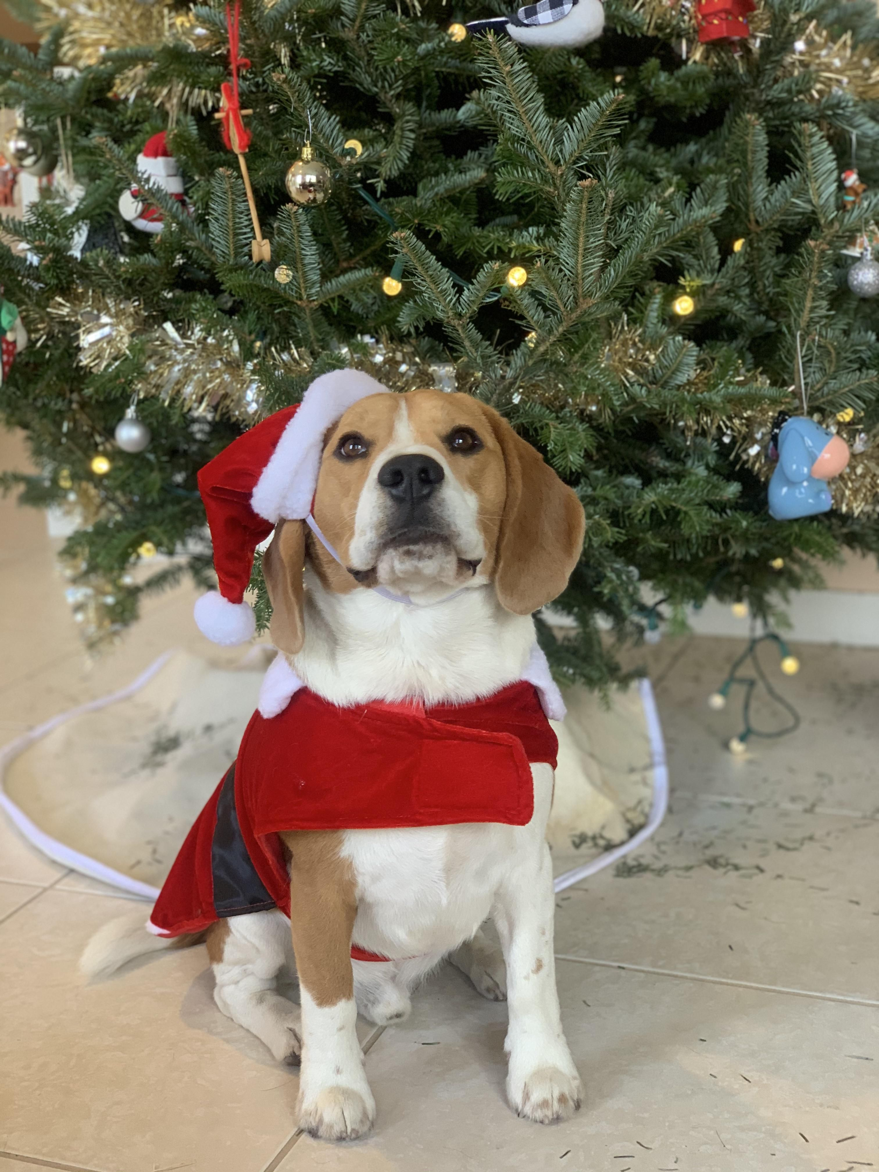 My Santa Beagle Https Ift Tt 2tr9j4o Cute Beagles Beagle Breeds