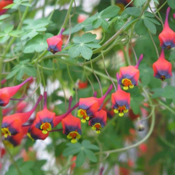 capucine vivace tropaeolum tricolor jardin shrubs plants et garden. Black Bedroom Furniture Sets. Home Design Ideas