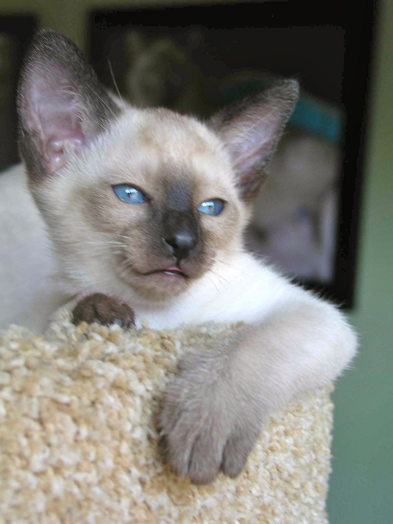 Siamese Cats Kittens For Sale Gato Siames Gato Balines Gatos