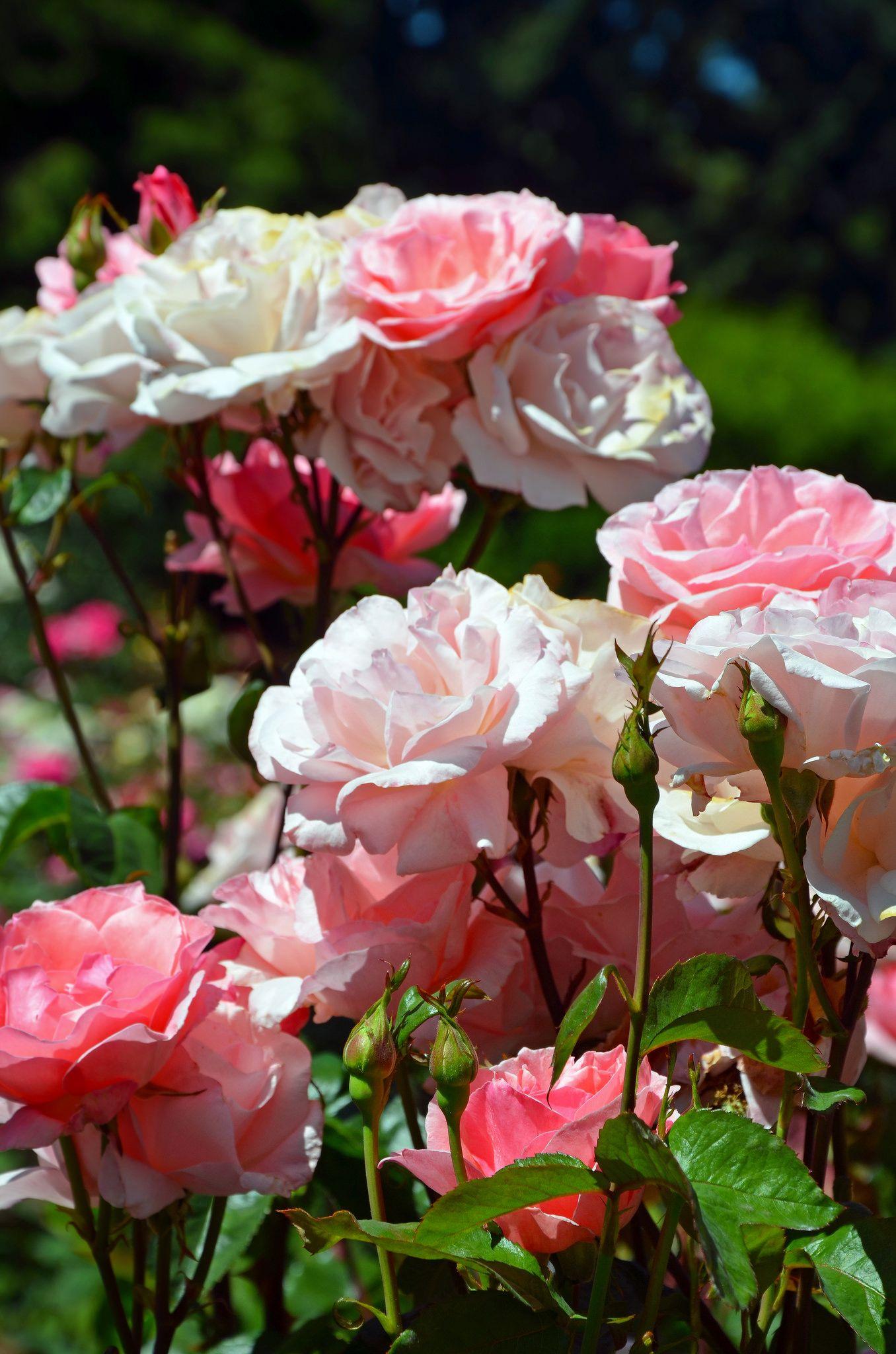 Beautiful Pink Rose Garden Beautiful Pink Roses Beautiful Roses