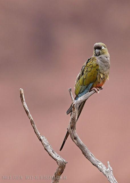 mis fotos de aves: Cyanoliseus patagonus Loro barranquero Burrowing p...