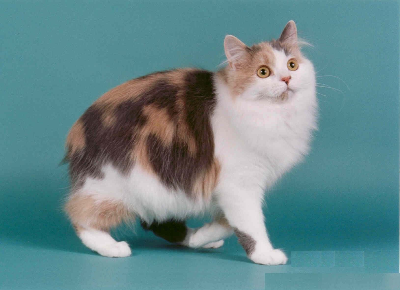 Cymric long haired Manx in dilute calico
