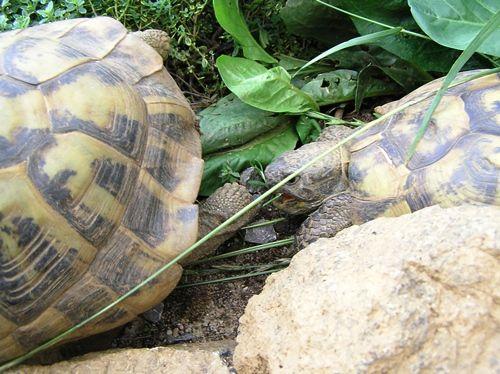 fortpflanzung von landschildkröten  landschildkröten