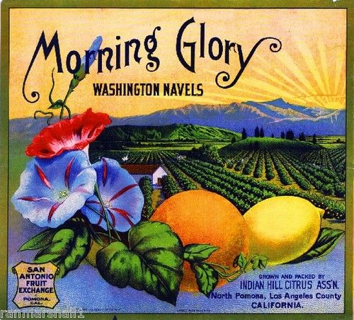Morning Glory Washington Navels (Oranges) Indian Hill Citrus Association, San Antonio Fruit Exchange - North Pomona, CA