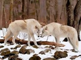Image result for a white wolf howling and sitting moon side view animal snow beautiful
