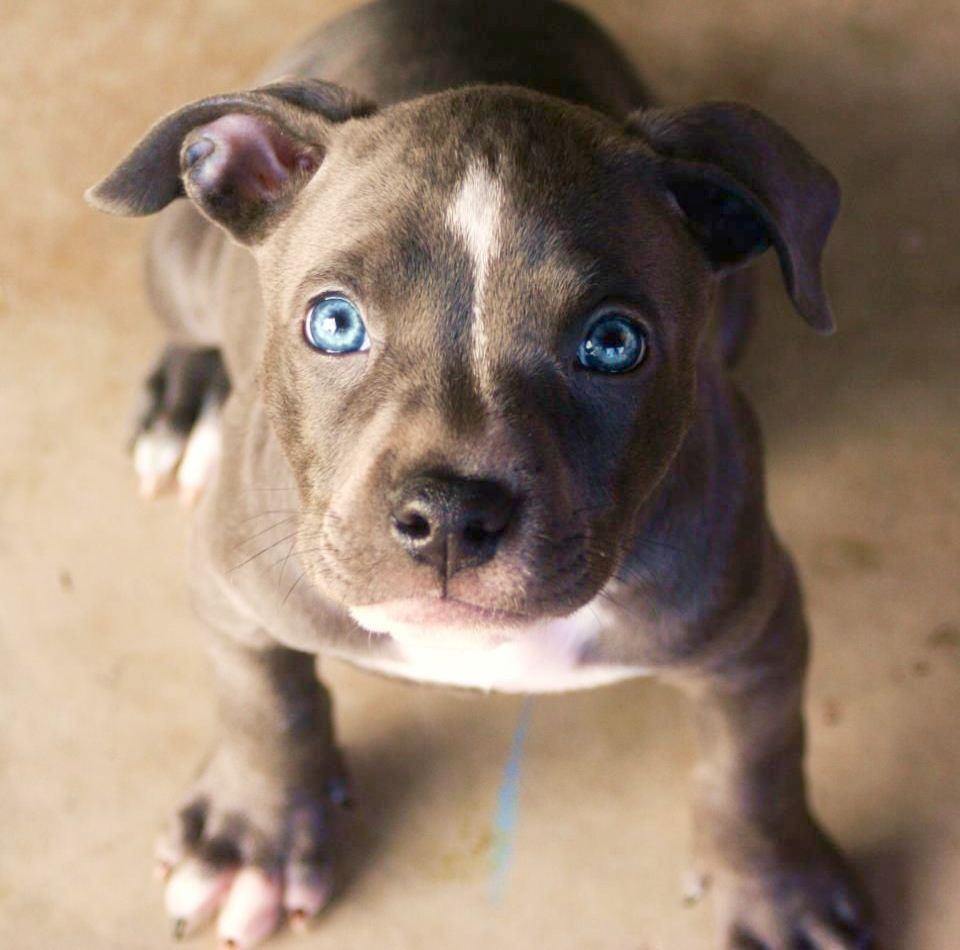 I M Having A Bad Hair Day With Images Pitbull Puppies Bully