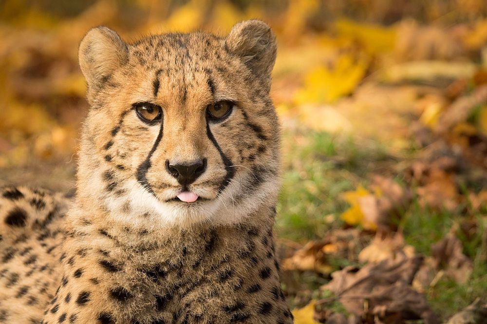 cheetah by Robert Adamec on 500px
