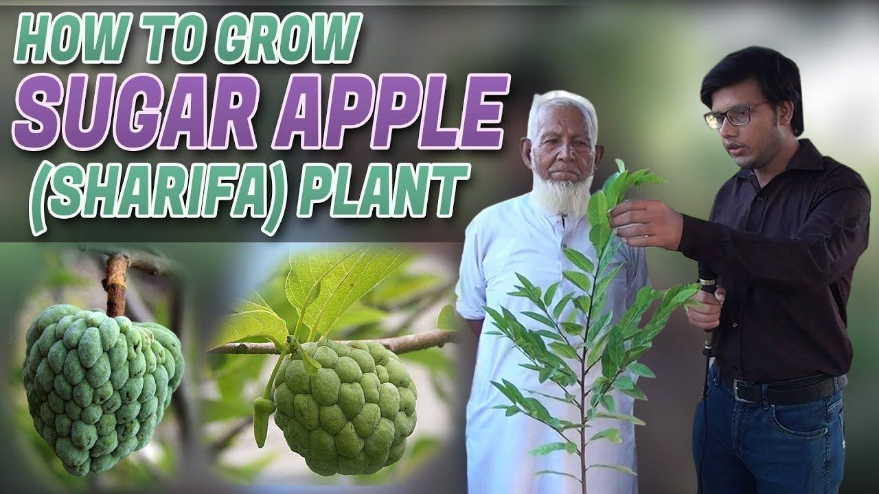 How To Grow Sugar Apple Sharifa Plant Jamshed Asmi Informative Channe Sugar Apples Plants Apple