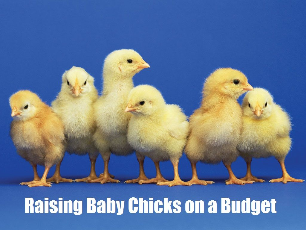 Baby Chicken Quotes: Raising Baby Chicks On A Budget