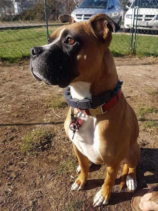 Boxer dog for Adoption in Cincinnati, OH. ADN548277 on