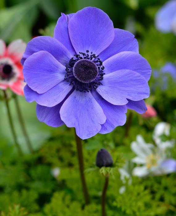 Anemone De Caen Mr Fokker Top Size Bulbs Anemone Flower Purple Flowers Garden Flower Garden Plans