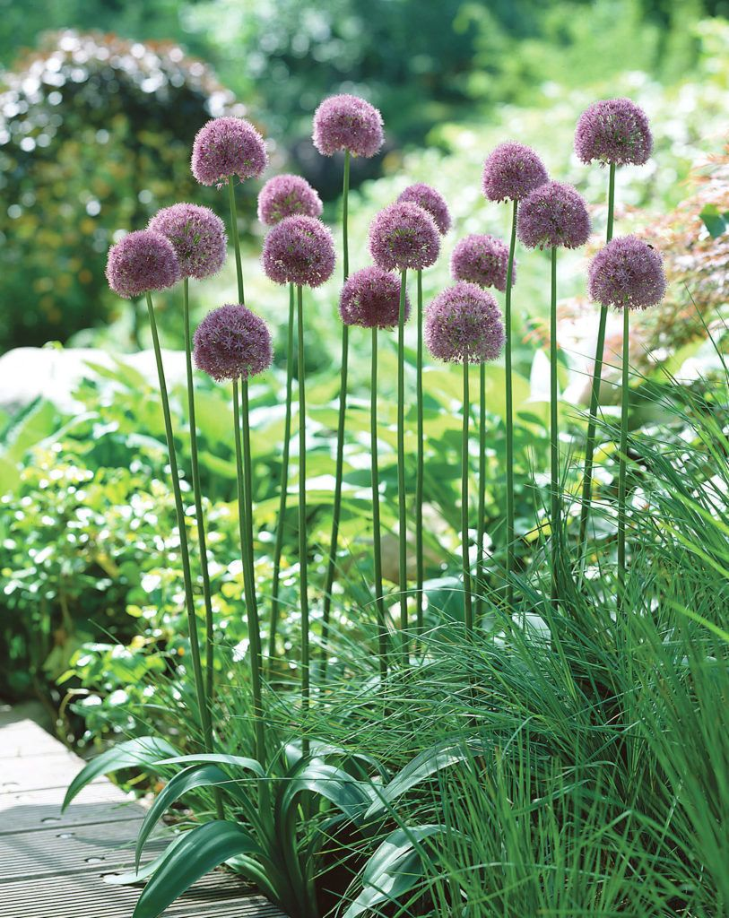 Onion Lucy Ball Allium Plants Flowers 99roots