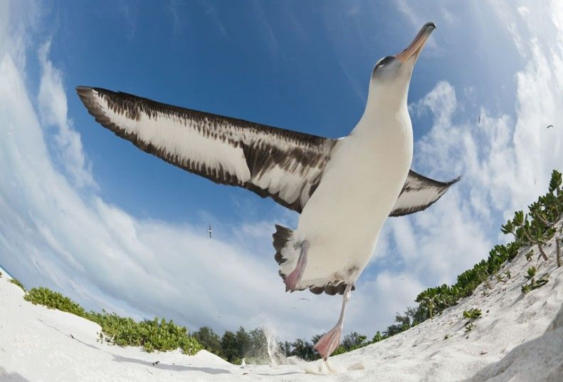 Image result for Albatross taking off from beach
