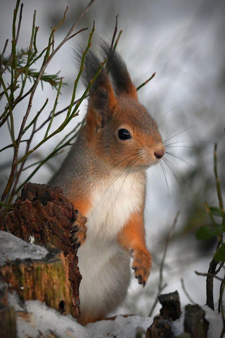 squirrel | eichhörnchen, tiere, tierbilder