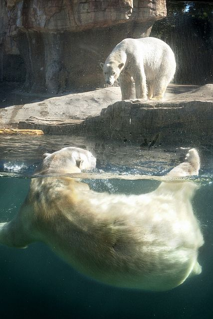 Wet And Dry Polar Bears At The San Diego Zoo 03 08 14 Polar Bear San Diego Zoo Bear