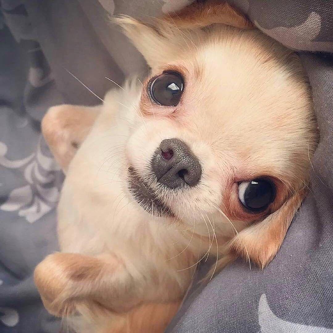 Chihuahua Chihuahuas Chihuahuasofinstagram Chihuahuafanatics